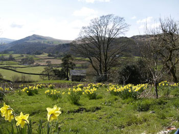 Daffodils at Howe Foot Holiday Cottages