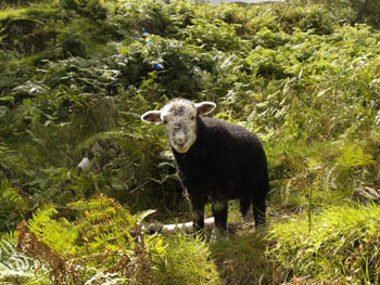 A young herdwick lamb in Tilberthwaite near Coniston
