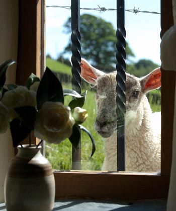 Sheep at the window